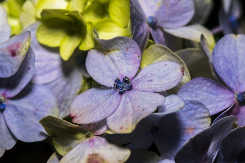Closeup of beautiful Hydrangea Macrophylla flower in a garden stock image