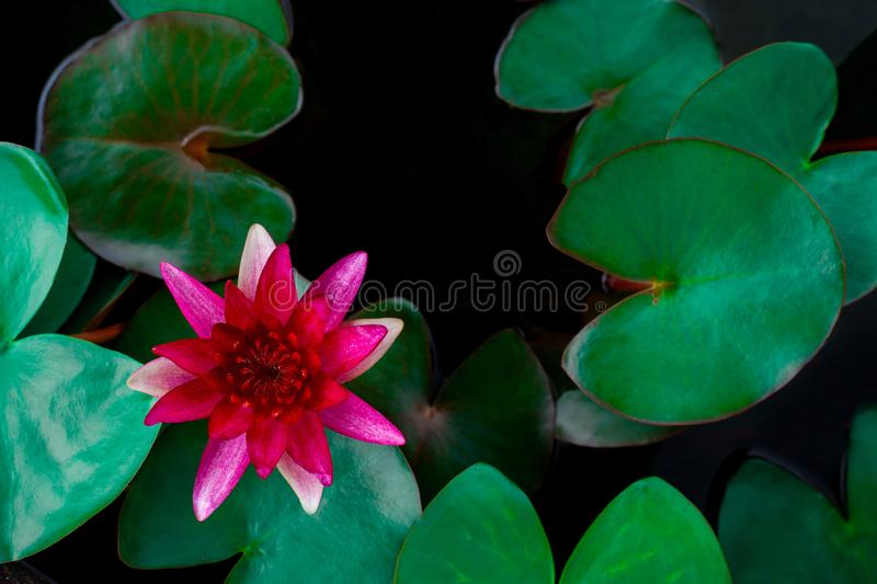 Closeup beautiful lotus flower and green leaf in pond, purity nature background royalty free stock images