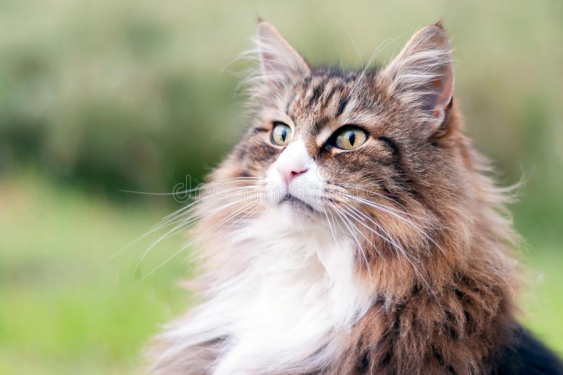 Closeup of a beautiful norwegian forest cat sitting outdoor. he gazes far into the distance.  royalty free stock image