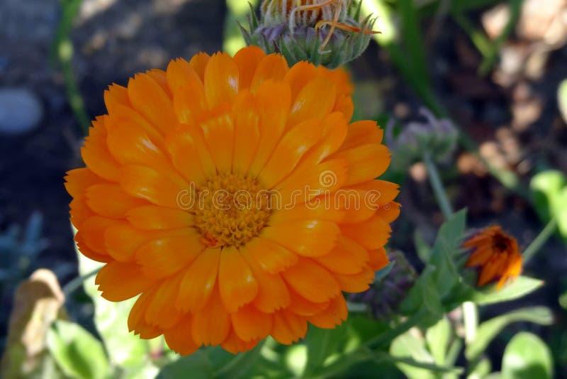 Closeup of beautiful orange marigold flower. Calendula stock photography