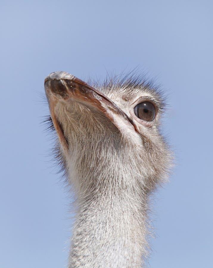 Closeup of a beautiful Ostrich