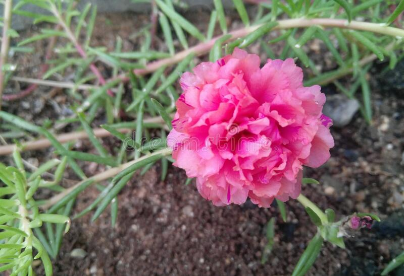 Closeup of beautiful pink flower blooming in the garden, nature photography royalty free stock photography