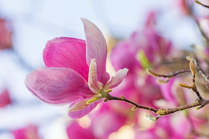 Closeup of a beautiful pink magnolia flower royalty free stock photos