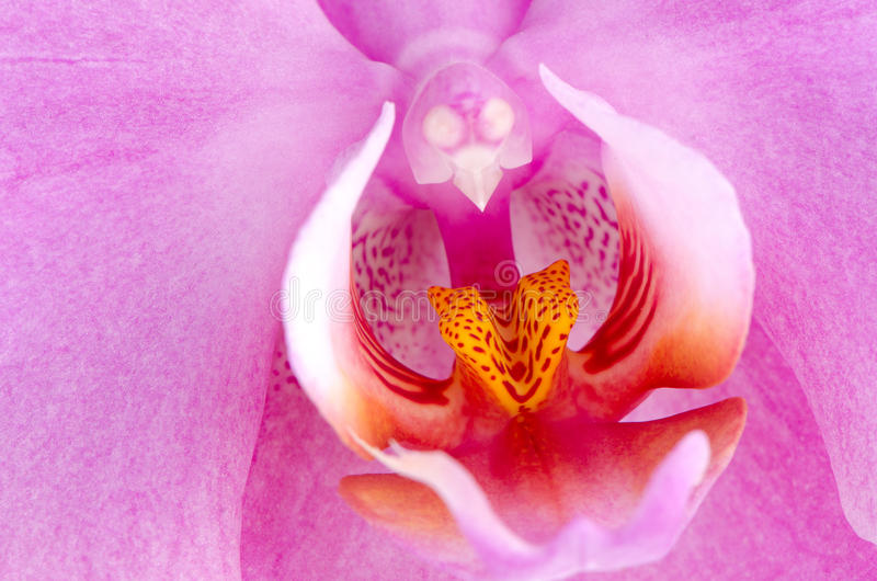 Closeup Of Beautiful Pink Orchid Royalty Free Stock Image