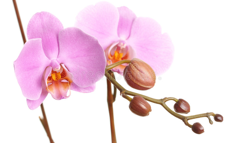 Download Closeup Of A Beautiful Pink Phalaenopsis Orchid Stock Photo - Image: 9235706