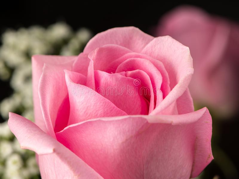 A closeup of a beautiful pink rose royalty free stock image