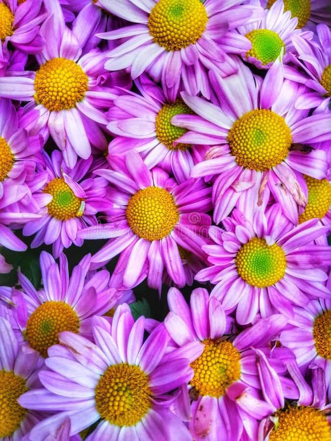 Closeup beautiful purple colour of daisies at the garden stock photo