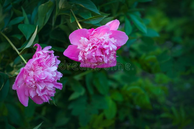 Group of pink peonies in the garden in the summer. Closeup of beautiful purple Peony flower stock photography