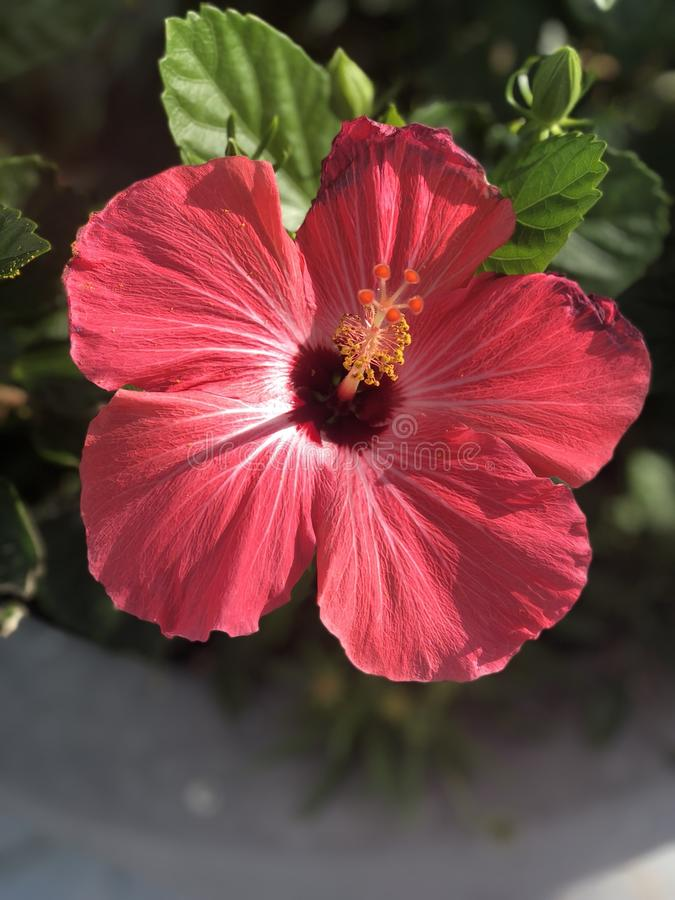 Closeup of a red flower stock photography