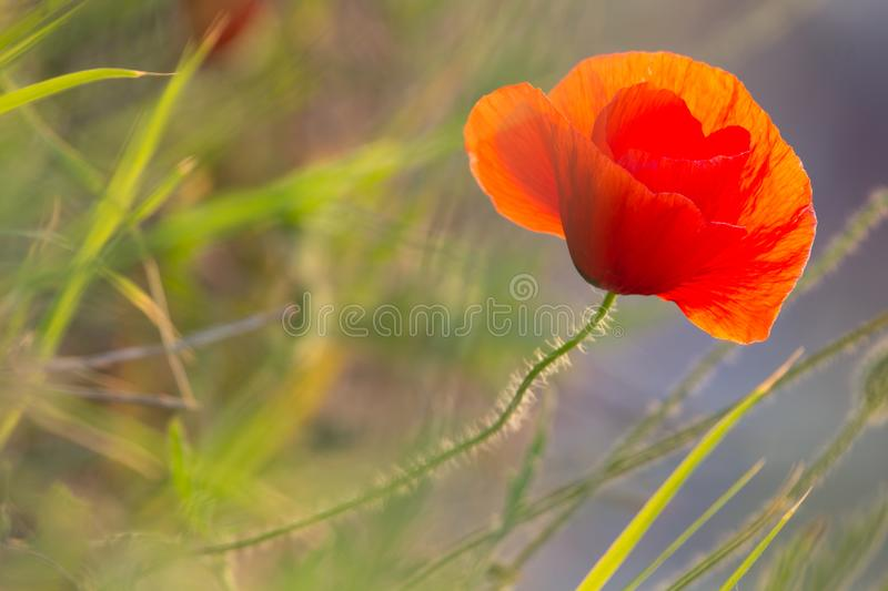 Closeup of a beautiful red poppy in a wheat green field in the summer stock images