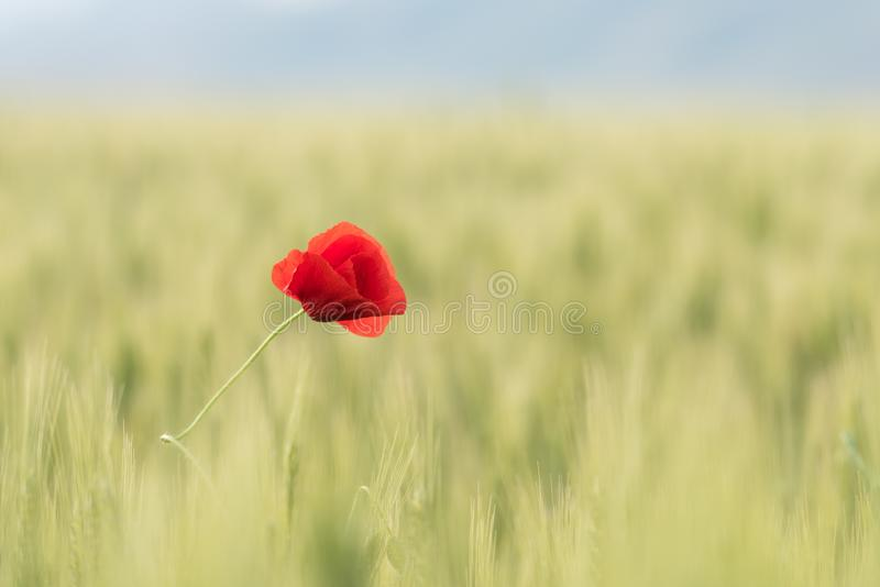 Closeup of a beautiful red poppy in a wheat green field in the summer royalty free stock photography