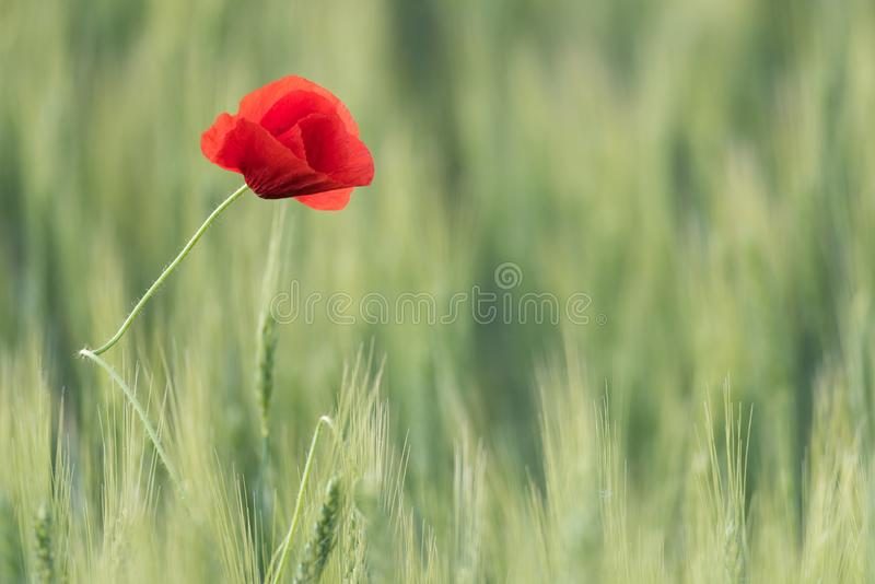 Closeup of a beautiful red poppy in a wheat green field in the summer stock photo