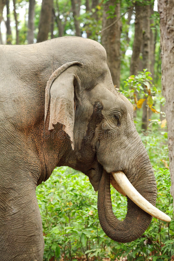 Closeup of beautiful tusker in musth stock images