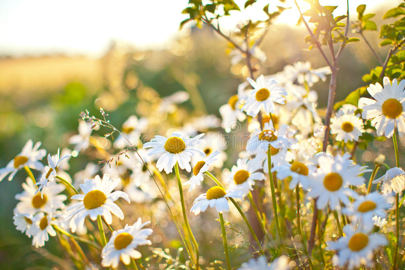 Closeup of beautiful white daisy flowers stock photo