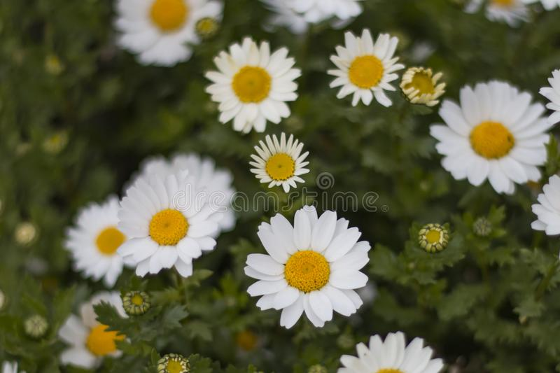 Closeup of beautiful white daisy flowers. In a country meadow with soft lighting and bokeh in the warm summer at sunset royalty free stock image