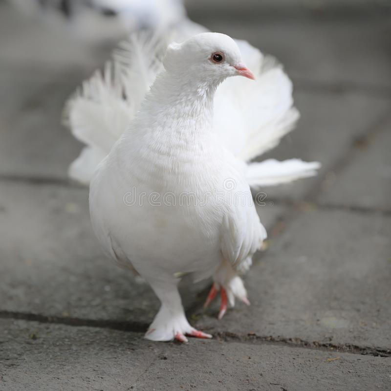 White dove with spreaded tail feathers walking on dark pathway stock photography