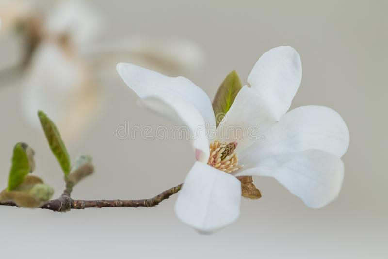 Closeup of a beautiful white magnolia flower stock photo