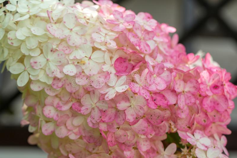 Closeup of a beautiful white and pink hydrangea in garden. royalty free stock photos