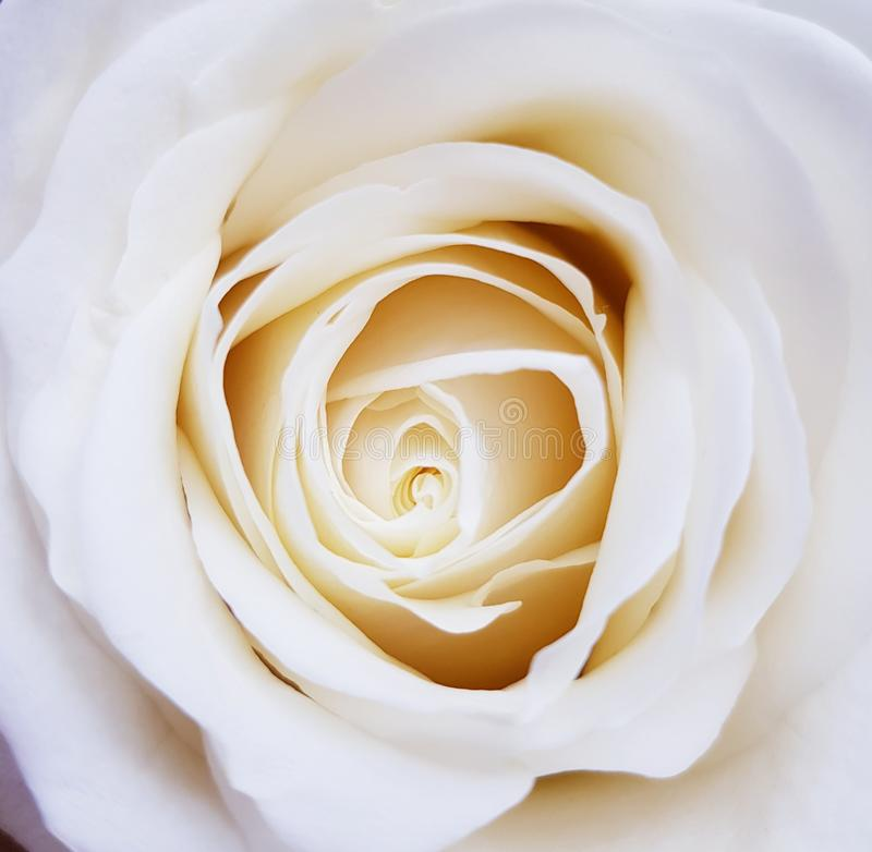 Closeup of beautiful white rose. Beauty of flowers. Rose flower background. Closeup of white rose with petals royalty free stock photos