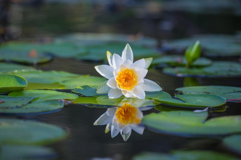 Closeup  white water lily floating in the water stock photos