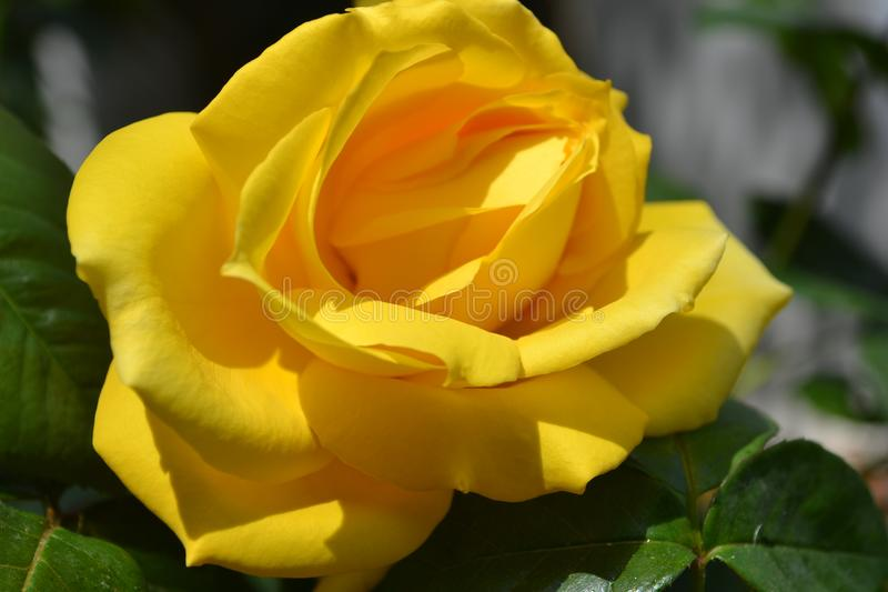 Closeup of a beautiful yellow rose and leafs royalty free stock photography