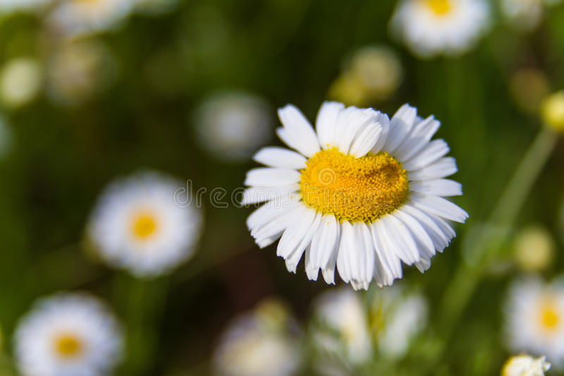 Closeup of a beautiful yellow and white Marguerite, Daisy flower. Summer field with white daisies on blue sky. Ukraine, Europe. Beauty world royalty free stock photography