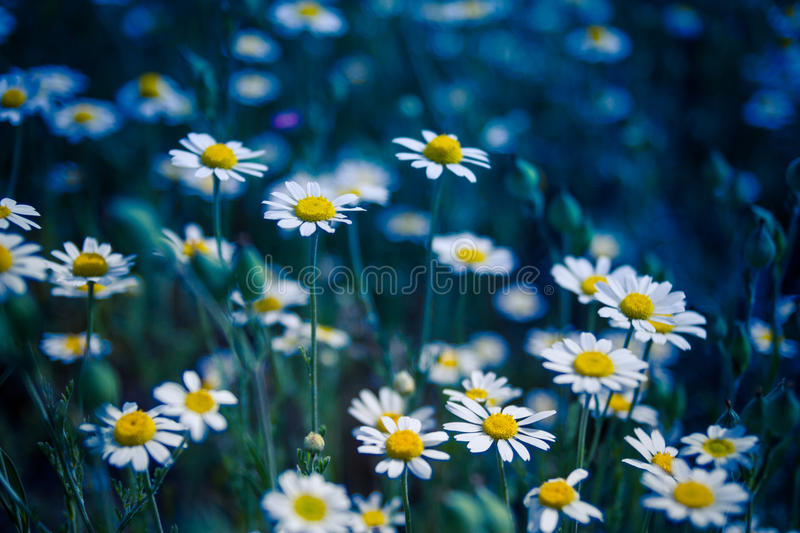 Closeup of a beautiful yellow and white Marguerite, Daisy flower. Summer field with white daisies on blue sky. Ukraine, Europe. Beauty world royalty free stock image