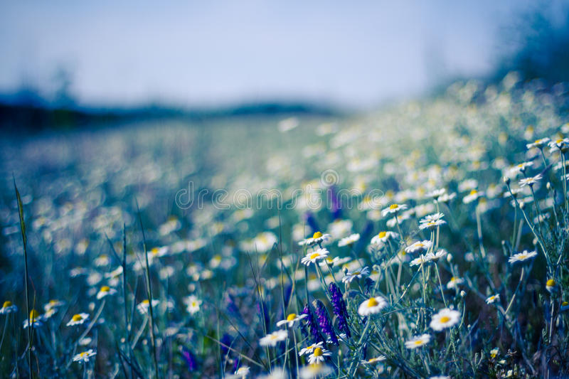 Closeup of a beautiful yellow and white Marguerite, Daisy flower. Summer field with white daisies on blue sky. Ukraine, Europe. Beauty world stock photo