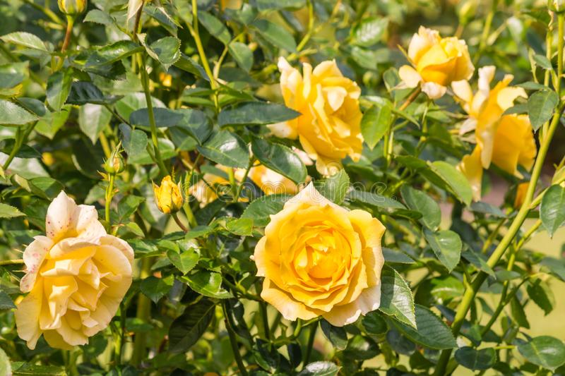 Bed of yellow garden roses in bloom. Closeup of bed of yellow garden roses in bloom royalty free stock photo
