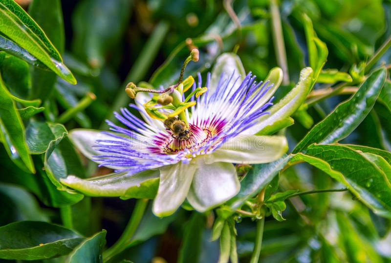 Closeup bee on blue passionflower royalty free stock image