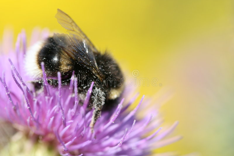 Download Closeup of bee on flower stock image. Image of nature - 5898531