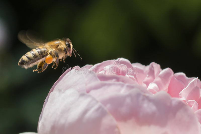 Closeup of a bee flying next to a rose flower royalty free stock image