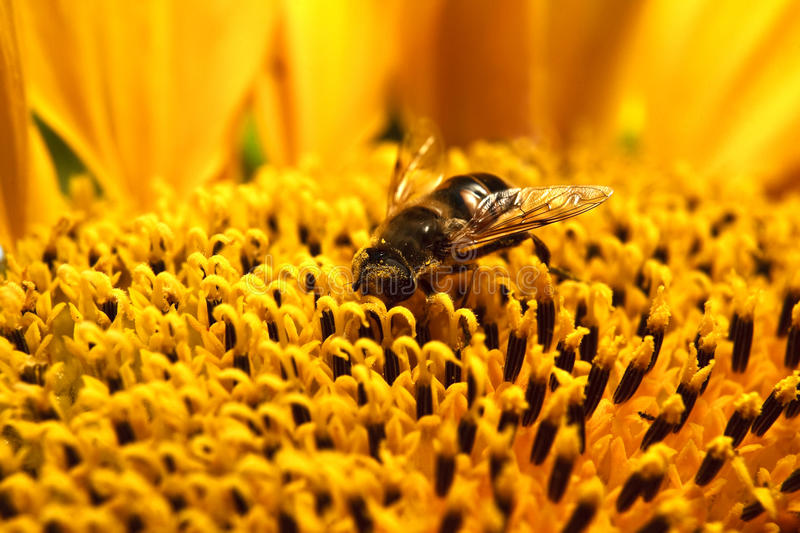 Closeup of bee on sunflowe royalty free stock images