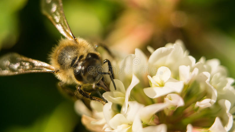 Closeup of bee at work on white clover flower collecting pollen A four leaves clover stock photo