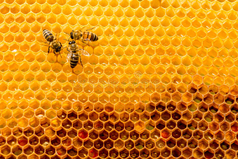 Closeup of bees on honeycomb in apiary. Selective focus, copy space stock photos