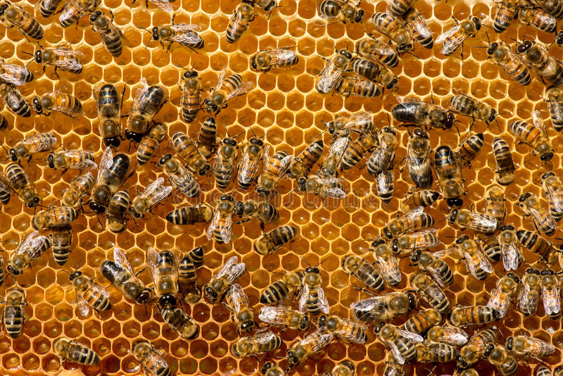 Closeup of bees on honeycomb in apiary. Selective focus, copy space royalty free stock photo