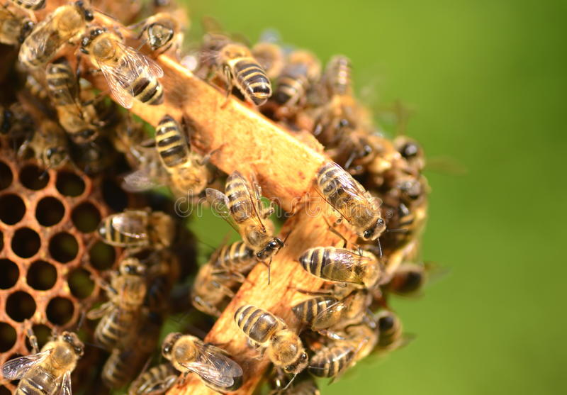 Closeup of bees on honeycomb in apiary. In the summertime royalty free stock photo
