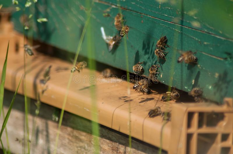 Bees on wooden beehives. Closeup of bees on wooden beehives royalty free stock images