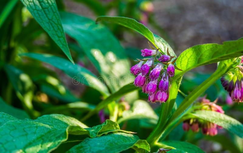 Closeup of the bell shaped flowers of a common comfrey plant, wild plant from Eurasia stock images