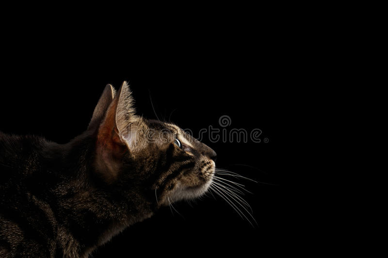 Closeup Bengal Cat Face in Profile view, isolated on Black. Closeup Bengal Cat Face with Green eyes in Profile view, isolated on Black Background stock images