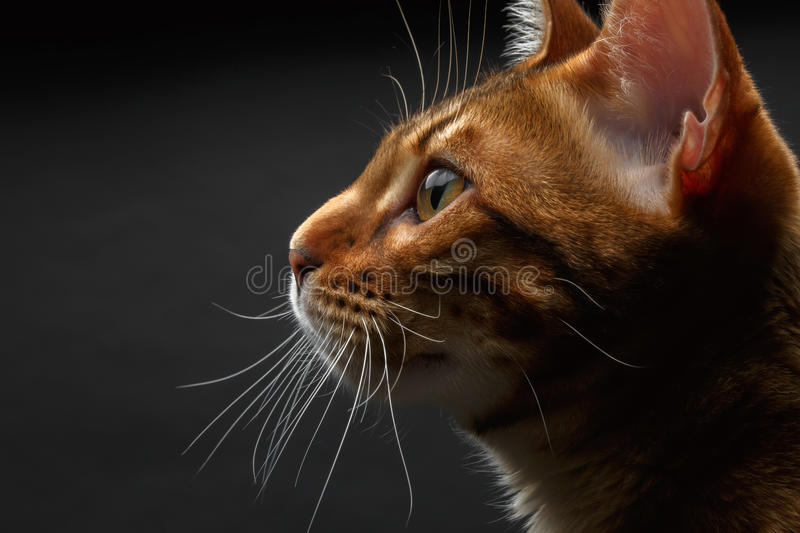 Closeup bengal cat profile view stock photography