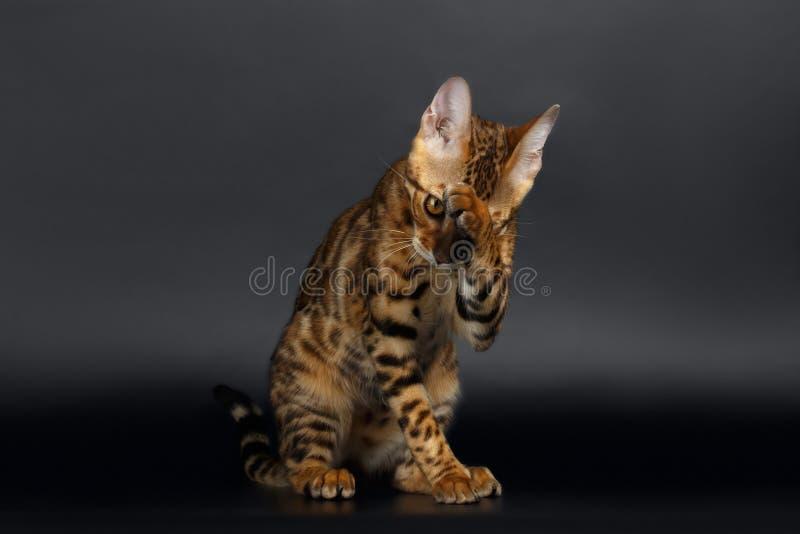 Closeup Bengal Cat Washes fotografering för bildbyråer
