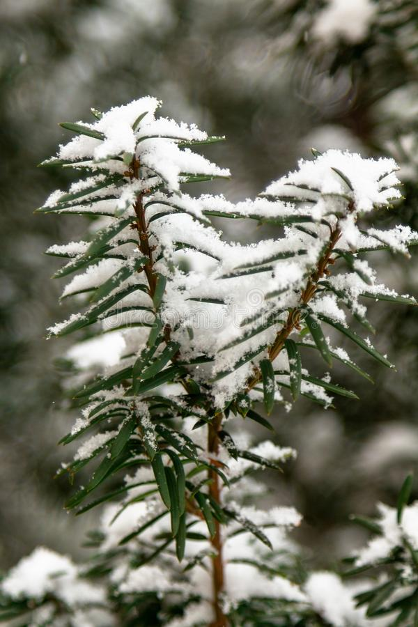 Closeup big flakes of snow on branch. stock image
