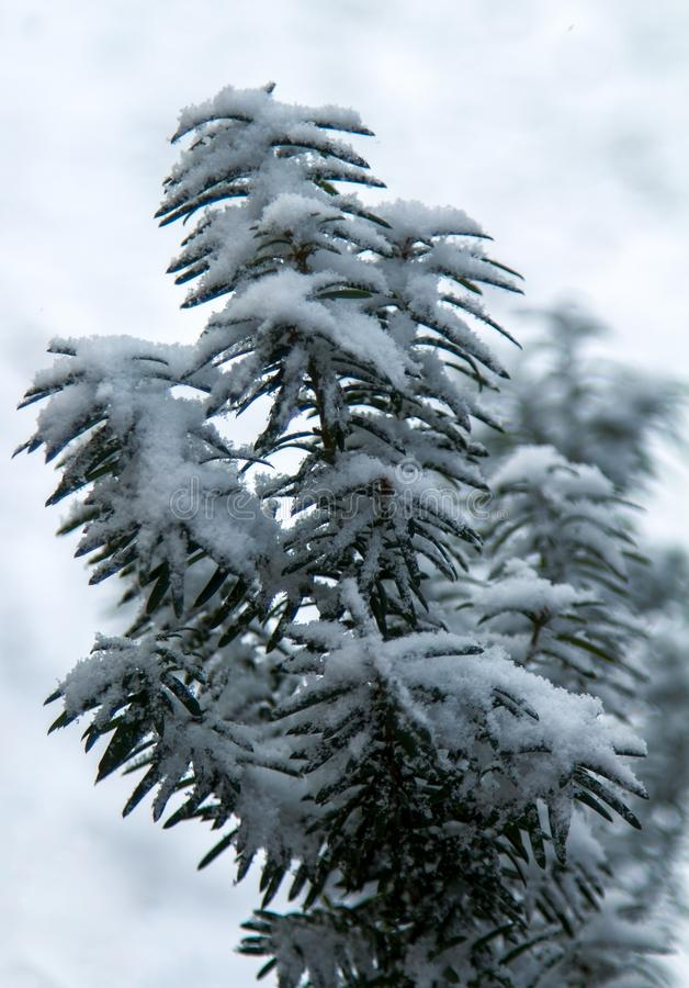 Closeup big flakes of snow on branch. royalty free stock image