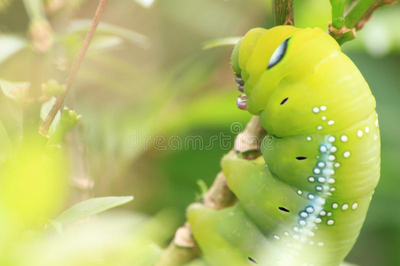 Closeup the Big green worm on tree, Giant green worm on treetop royalty free stock photo