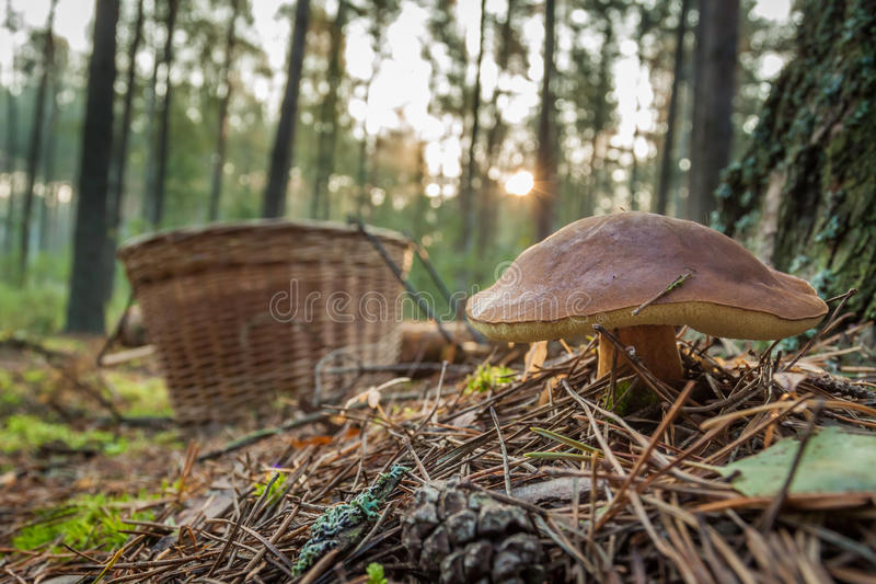 Closeup big mushroom and basket in forest royalty free stock photos