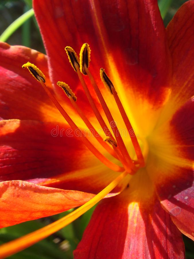 Closeup of a big red tiger lily in the garden summer. Bright red beautiful asiatic macro. Red lily background, soft selective. Focus. Full blooming of deep red royalty free stock image