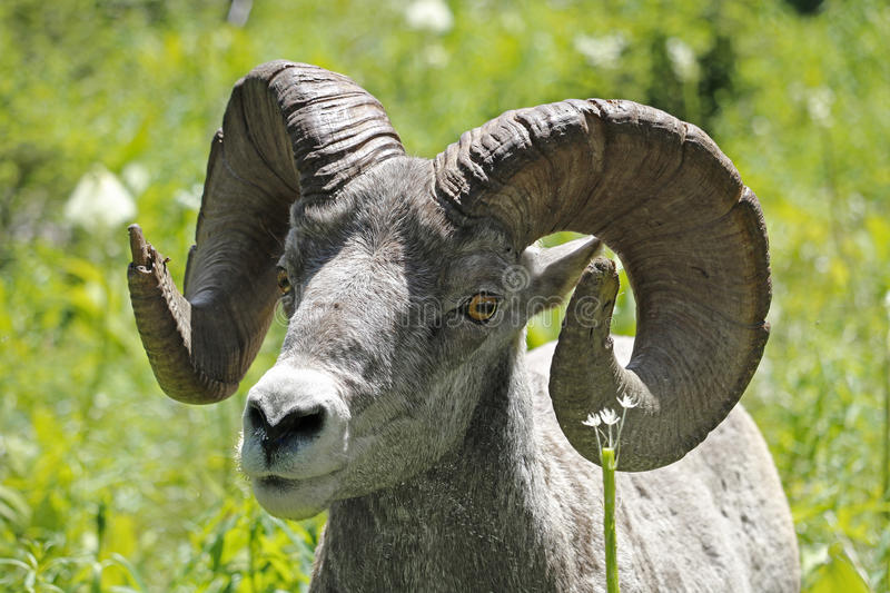 Closeup of Bighorn Sheep royalty free stock images