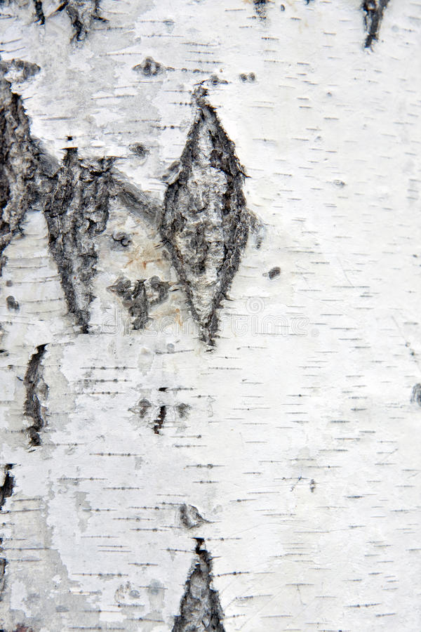 Download Closeup Of Birch Tree Bark Royalty Free Stock Photo - Image: 11283465