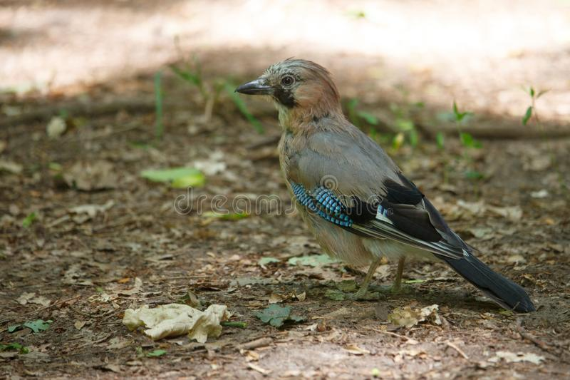 Close-up of a bird with bright feathers known as a jay sitting on the ground among the foliage, selective focus stock images
